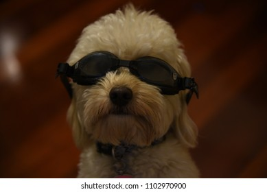 1c3a6fdd87c Domestic dog pet wearing a goggle ready for a swim and dive