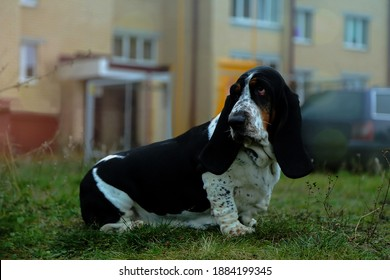 A domestic dog for walks on the street. Pitomitz on the grass. The Basset hound.
