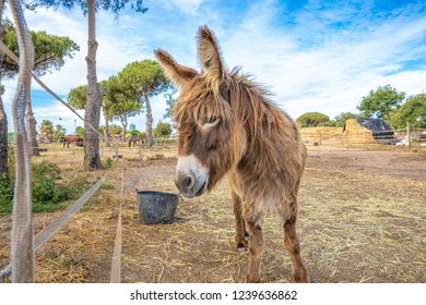 domestic donkey, of a breed known as Zamorano Leones from Spain, with great shaggy wool or hair, on a plot of a farm
