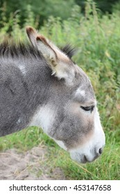 The domestic donkey from the side