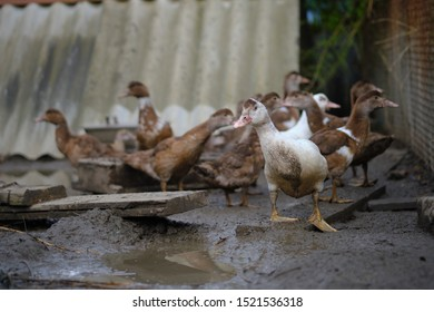 domestic ducks in the mud at the farmyard