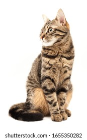 Domestic Egyptian striped kitten. Cute young red cat isolated on abstract blurred white background. Indoor pets, veterinary and advertising concept. Detailed studio closeup