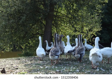 Domestic geese graze. Pets. Goose feathers. Geese on the street.
