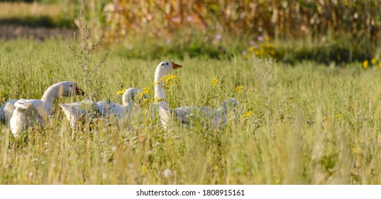 Domestic geese on a meadow. Fall rural farm landscape. Geese in the grass, domestic bird, flock of geese