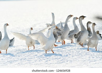 domestic geese outdoor in winter