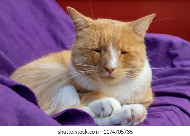 Domestic ginger cat with a swollen nose due to pus and abscess from infected cut on head