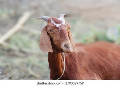 Domestic goat (Capra aegagrus hircus) also known as billy goat and cretan goat