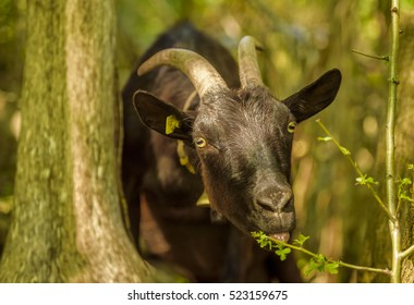 Domestic goat eating leaves - Image with a black goat at a swiss farm eating leaves from a tree branch. The picture was taken near the village Quinten, Switzerland