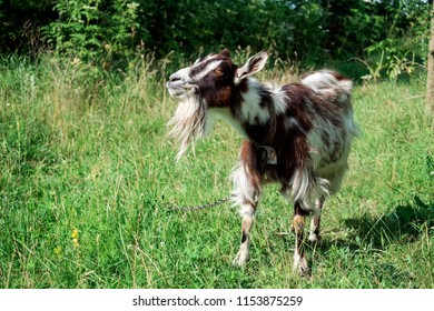 Domestic goat on a chain proudly chews grass (Capra aegagrus hircus)
