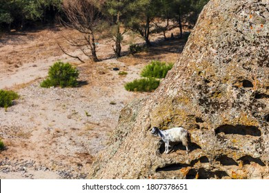 Domestic goat stay on a rock above a river