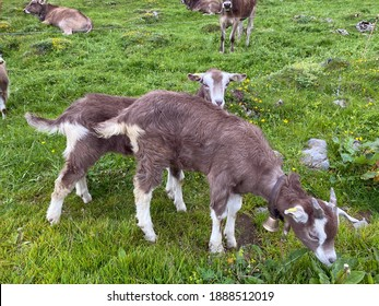 Domestic goats on the on meadows and pastures over the Iberig region and on the slopes of the Schwyz Alps mountain massif, Oberiberg - Canton of Schwyz, Switzerland (Kanton Schwyz, Schweiz)