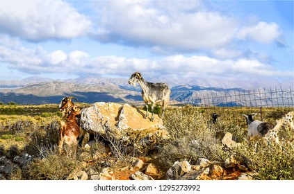 Domestic goats on mountain valley pasture. Mountain goats pasture field. Domestic goats pasture scene