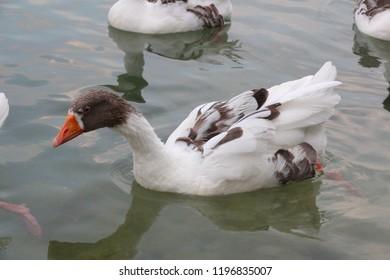 Domestic goose swimming in wate