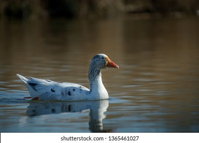 Domestic goose swimming the wild
