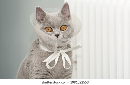 A domestic gray British Shorthair cat with orange eyes sits in a protective collar tied to a white ribbon and bow at home near a battery after an umbilical hernia surgery. Looks into the camera.