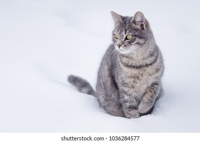 A domestic gray cat sit in the snow on cloudy day