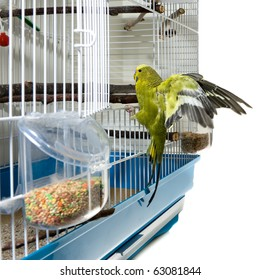 A domestic green budgie landing in his cadge after a flight.