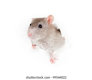 domestic grey rat leaning out of the paper torn hole