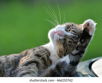 Domestic grey striped cat Washing Face with paw