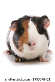 Domestic Guinea Pig isolated on a white background