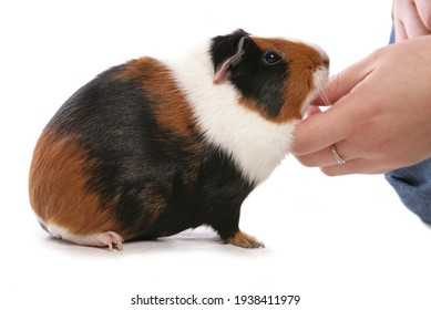 Domestic Guinea Pig pet being stroked isolated on a white background