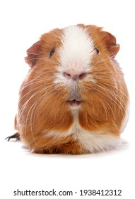 Domestic Guinea Pig pet isolated on a white background