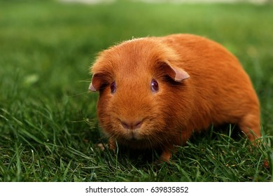 Domestic guinea pig is walking in the grass