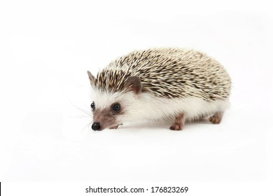 The domestic hedgehog isolated on a white background.