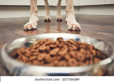 Domestic life with pet. Feeding hungry labrador retriever. Paws in front of the bowl with granules.