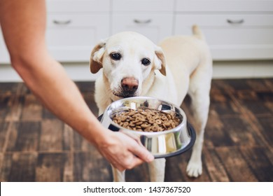 Domestic life with pet. Feeding hungry labrador retriever. Owner gives his dog bowl of granules.