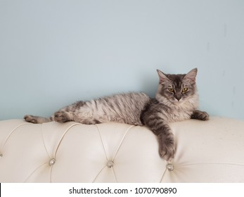 Domestic long hair cat on a sofa