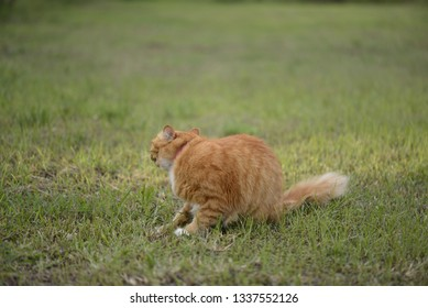 Domestic long hair cat playing at grass, selective focus