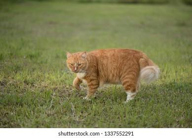 Domestic long hair cat playing at grass, selective focus