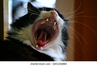 A domestic long-haired black and white cat with mouth wide open, one fang broken, heart shaped tonque, blurred background. Looks like screaming out loud. Strange looking cat