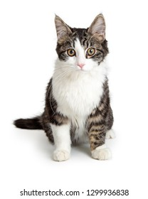 Domestic medium hair tabby and white cat sitting on white background looking forward at camera