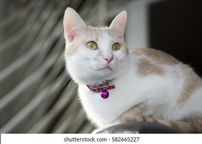 Domestic pet cat with yellow eyes. Pretty white cat with pink collar and bell..