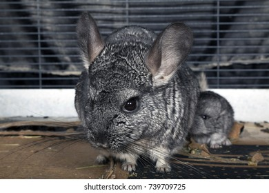 A domestic pet Chinchilla in a cage.