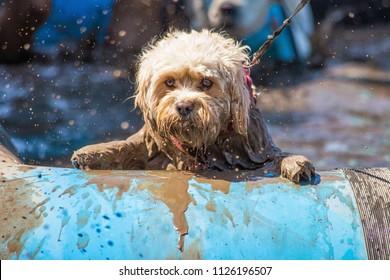Domestic pet dog at muddy dog challenge event