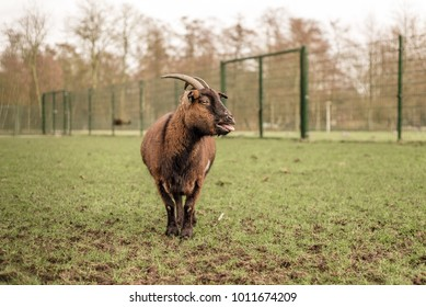 A domestic pet goat with horns stands alone in a field, bleating, with mouth open and tongue out, and fence in the background