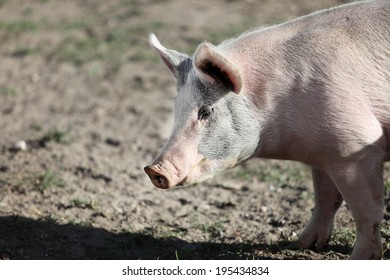 A domestic pig on the farm