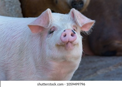Domestic pig. Pigs on a farm in the village