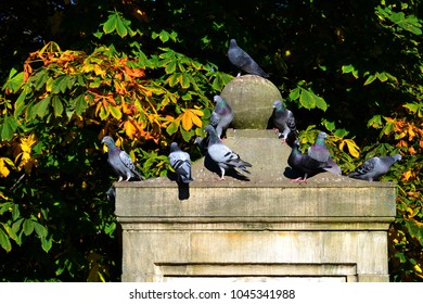 The domestic pigeons, Columba livia domestica sitting on a statue in autumn
