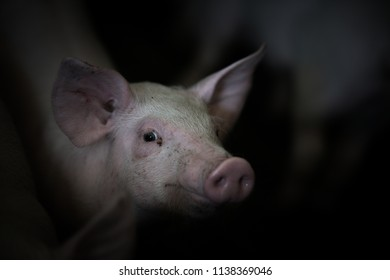 Domestic pigs. Pigs on a farm in the village, France