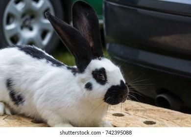 Domestic rabbit approximately
