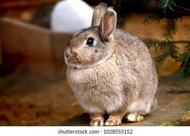 domestic rabbit or  European rabbit