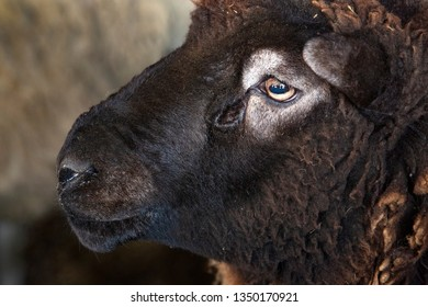 Domestic ram, Ovis aries, at a barn in East Windsor, Connecticut, in early March just before lambing season.
