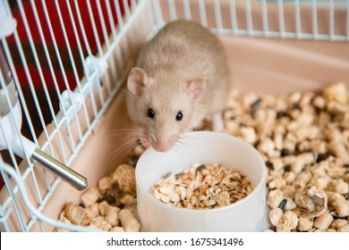 The domestic rat dumbo, white, is sitting in an open cage.