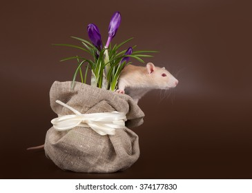 domestic rat sniffs spring crocuses