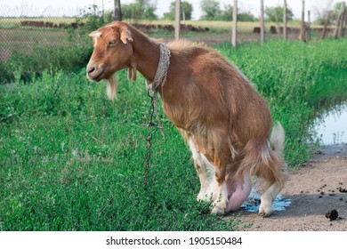 Domestic red goat on village road in countryside pasture feeding on grass