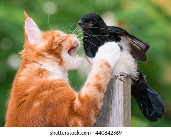 Domestic red Maine Coon kitten, 4 months old, hunted a nestling of magpie. Cat hunted a bird.
